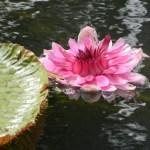 Water lily in Mauritius Sir Seewoosagur Ramgoolam Botanic Garden