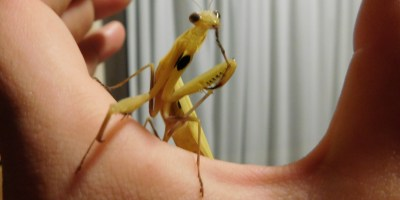 Praying Mantis Hot Lady