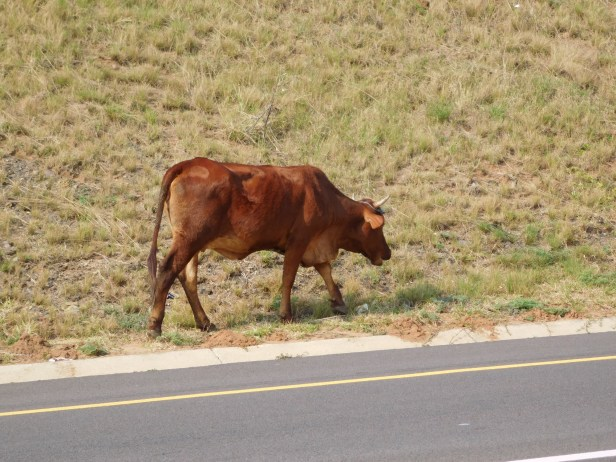 One of a herd of Nguni cattle walking along the freeway.