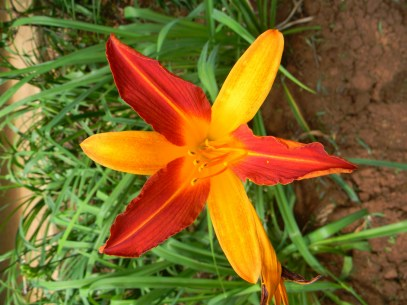 Daylily genus Hemerocallis