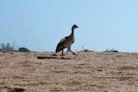 Egyptian goose on the river bank