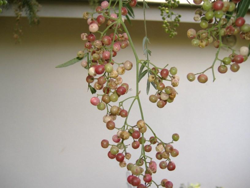Peppercorn berries (drupes)