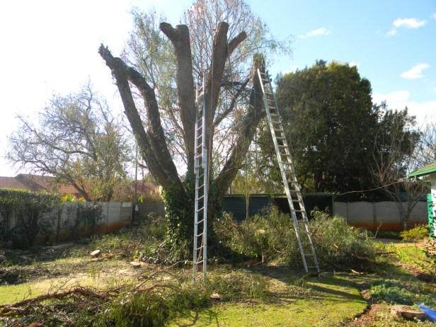 Perppercorn Tree2