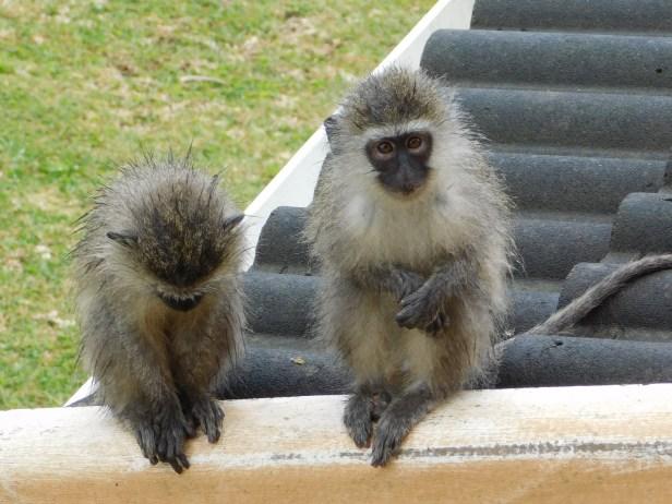 Vervet monkeys during a heavy rain shower
