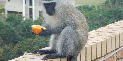 Cheeky vervet monkey sitting on the balcony wall having an orange