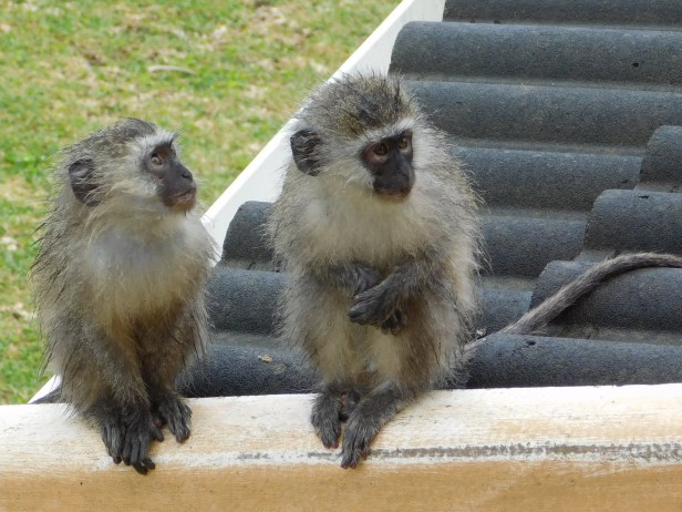 Vervet monkeys during a heavy rains shower