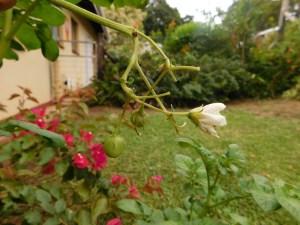 Tamaties aan die aartappelplant