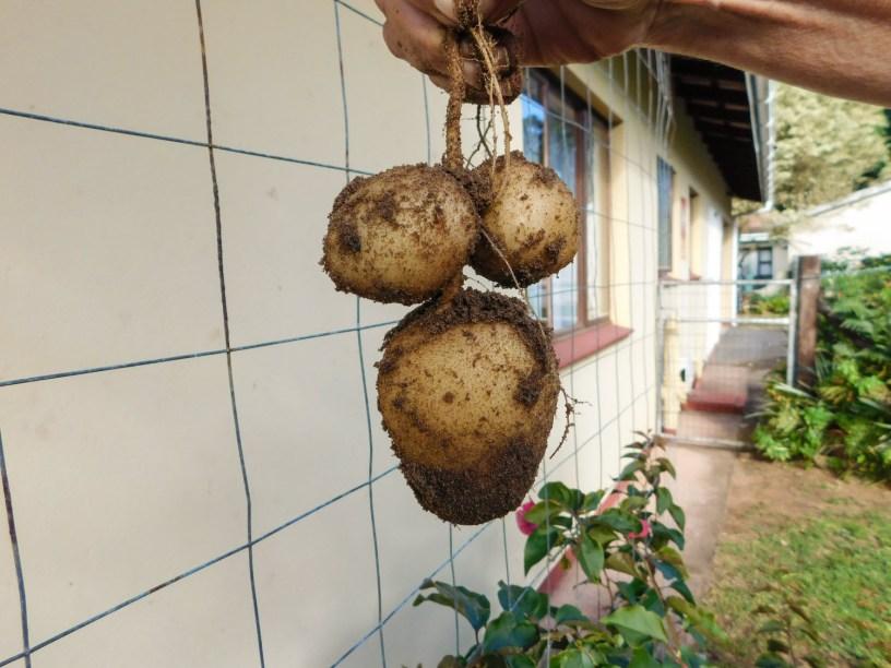 Aartappeloes