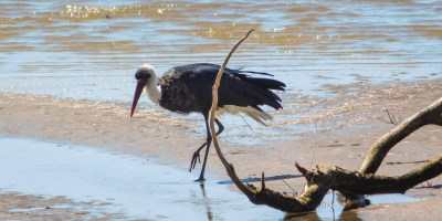Woolly-necked stork in the Mpenjati Nature Reserve, KwaZulu-Natal