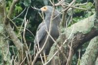 African Harrier Hawk, Southport, KwaZulu-Natal