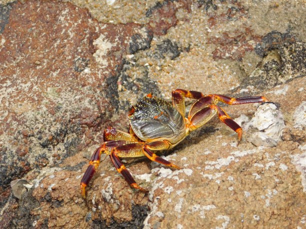 Granny crab on the rocks