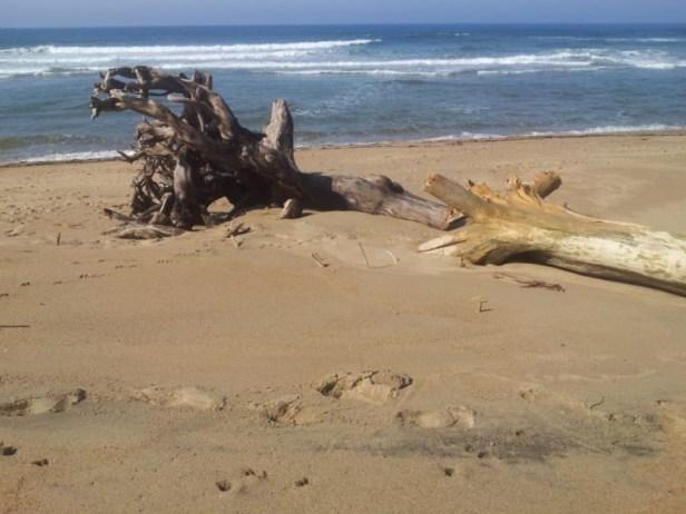 Driftwood at Umtentweni Beach