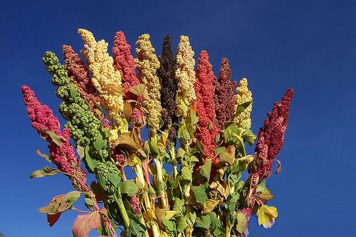 Foto: Quinoa