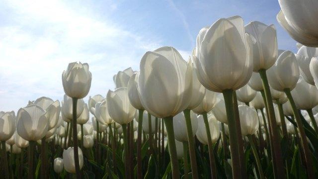 Tulpen, Het Cafe, Wervershoof, Biertocht, Wijntocht