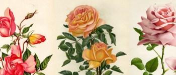 Roses 1140x400