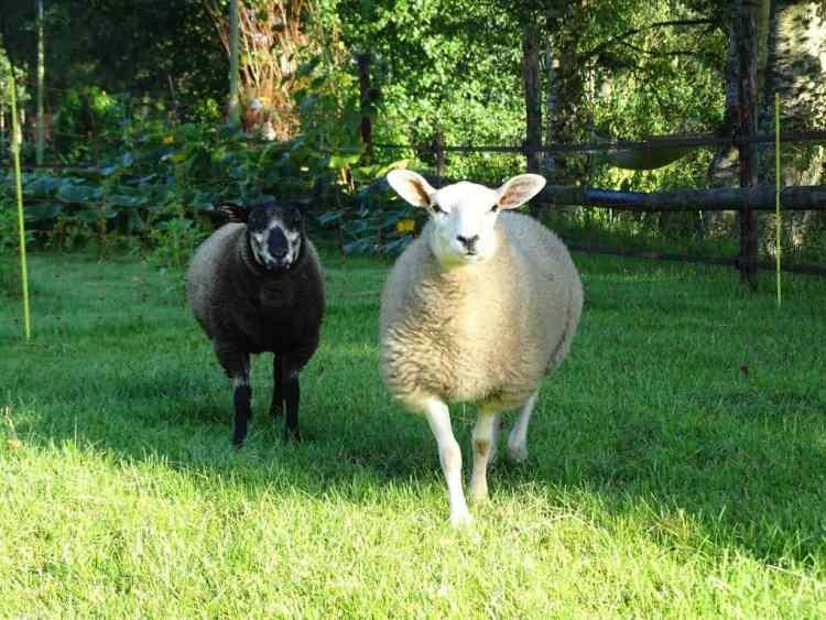Twee met de fles grootgebrachte schapen.