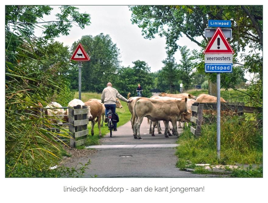 Koeien-op-liniedijk