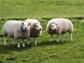 Tipgeld uitgeloofd voor schapendiefstal