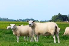 graasdierpremie schapen