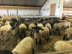 fokschapen voor rusland