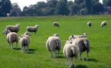 Politie onderzoekt schapendiefstallen Brabant