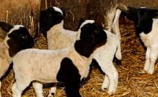 Russen bouwen mega-schapenbedrijven