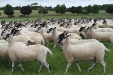 schapenziekte