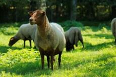 Voor import van fokschapen uit België gelden extra blauwtongeisen