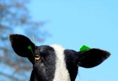 schapen-I&R