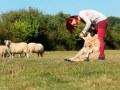 schapenklauwen verzorgen