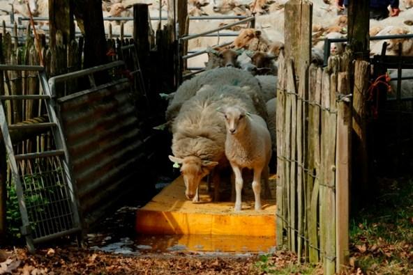 schapen lopen over ontsmettingsmat