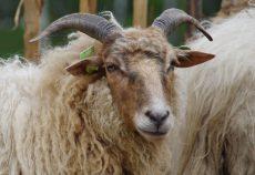 honden doden schapen