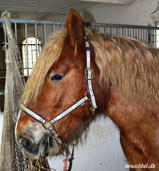 Man spiser da ikke Emilie! Jydsk hest i profil.
