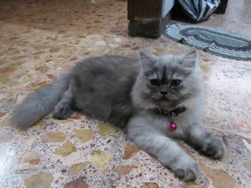 Foto Kucing Persia Medium
