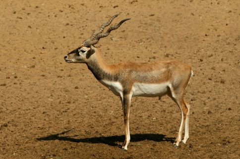 1280-152502698-antelope-series-blackbuck