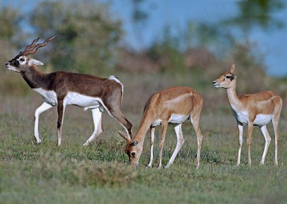 Blackbuck_male_female