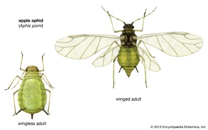 Wingless-adult-apple-aphids