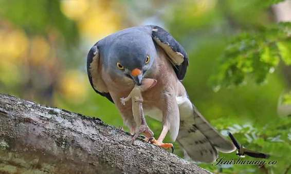 alap-alap-china-Chinese-Sparrowhawk-Accipiter-soloensis