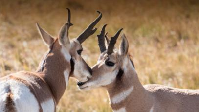 animals_hero_pronghorn