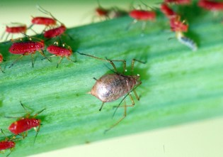 aphid-mummy-parasitized-by-braconid-wasp-JHahn_0