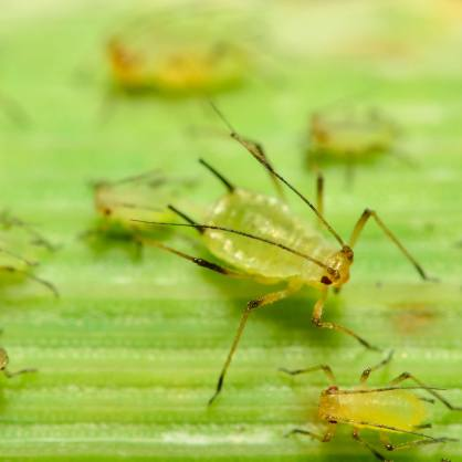 aphids1