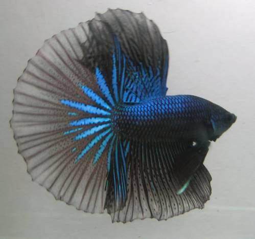 ikan-cupang-halfmoon-hitam