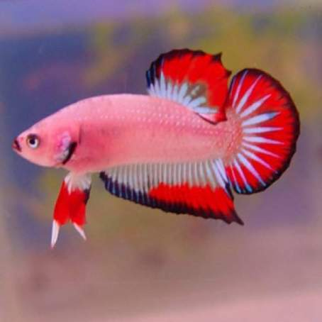 ikan-cupang-plakat-merah