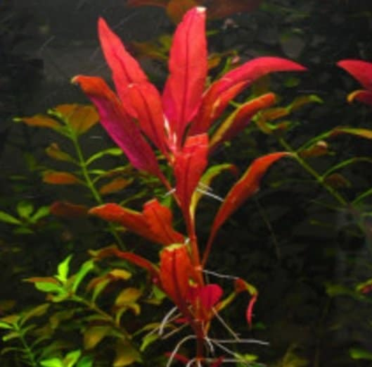 jenis-tanaman-air-akuarium-aquascape-red-telanthera-lilacina