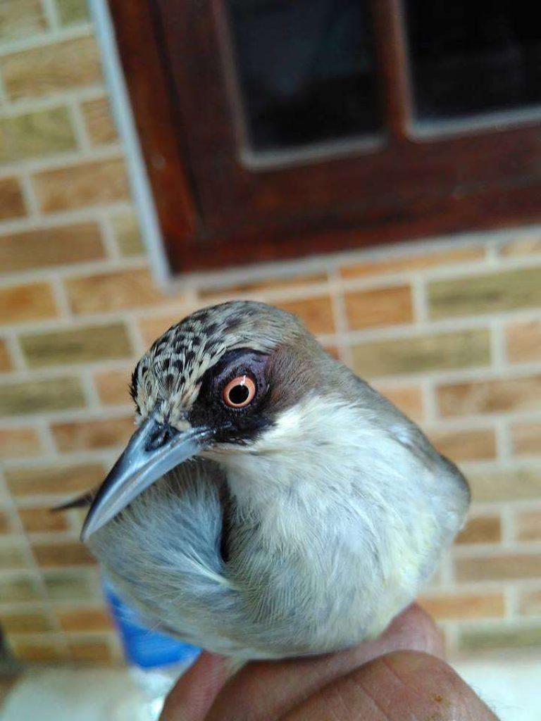 Di beberapa daerah di pulau jawa, burung jenis ini mempunyai banyak sebutan, misalnya cucak jempol (cak jempol), cipow gunung, cucak gentong. √ Membedakan Kelamin Opior Jantan dan Betina - Binatang ...