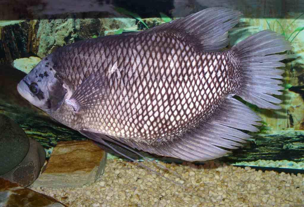 makanan-ikan-gurami-agar-cepat-besar