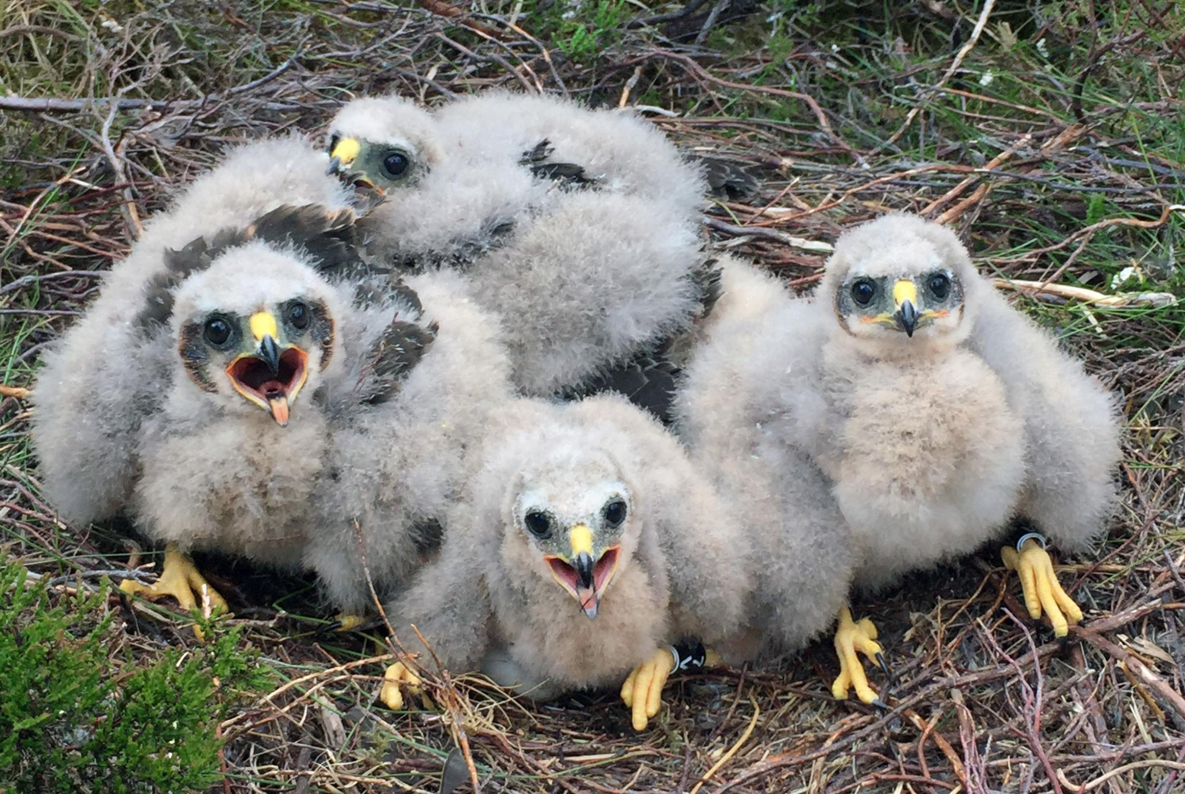 Success for hen harrier protection plan in Northumberland