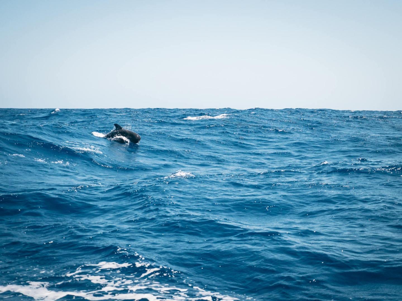 Des dauphins croisent nos chemins
