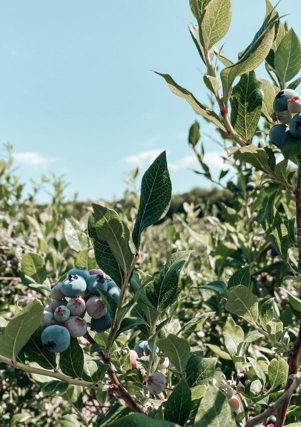 Blueberry Picking: A Mom's Guide