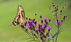 ironweed-butterfly-urban -wilderness-knoxville-heysmokies